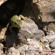 Kleine neugierige Eidechse
