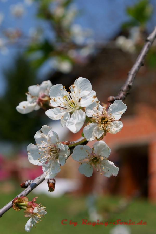 Kroatische Kirschblüte