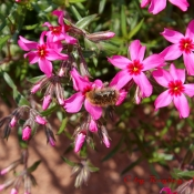 Kroatische Biene...