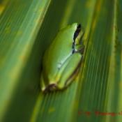 Frosch auf Palmenblatt